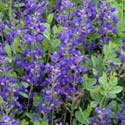 false indigo,baptisia,how to grow false indigo,garden,gardening,gardens,garden gate,how to make a garden,growing perennials,gardener,gardner