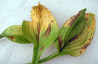 Hosta Diseases And Cultural Information