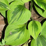 Hosta Radiant Star